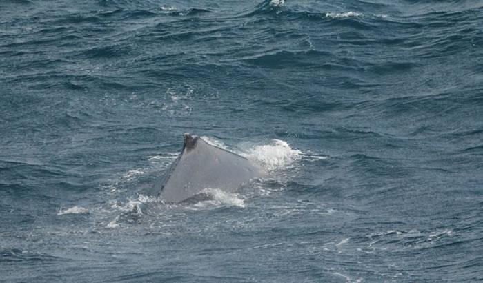 大翅鲸上一次出现是在2003年5月,距离此次现身已相隔14年。(图/多罗满赏鲸提供)