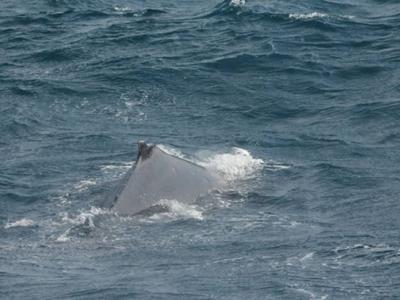 台湾花莲赏鲸船幸运巧遇2只约10米长大翅鲸 时隔14年再度现身