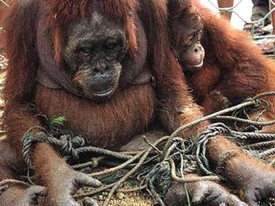 印尼婆罗洲红毛猩猩闯棕榈园被射杀后肢解煮来吃