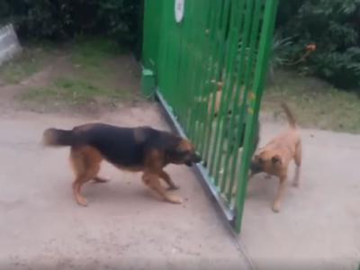 来咬我啊!几只狗隔着电动栅栏互相凶猛叫嚣 当门打开时双方却一哄而散