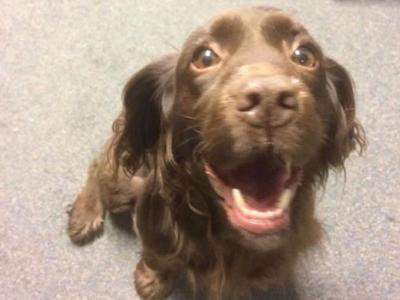 英国贩狗集团偷走可卡猎犬 竟残忍将植入晶片挖掉