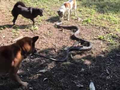 泰国4忠犬为守护主人激战巨大眼镜蛇