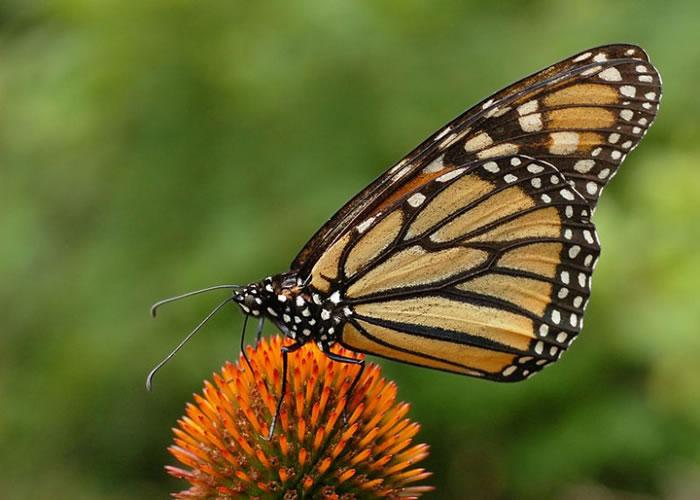 帝王蝶外表吸引。