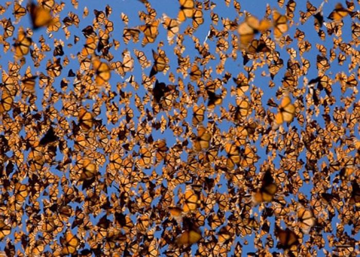 成千上万帝王蝶飞舞的场面,可能即将不再复见。