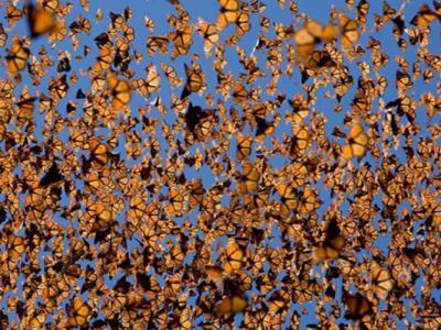 世界自然基金会:2016/2017年度飞往墨西哥过冬的帝王蝶减少27%