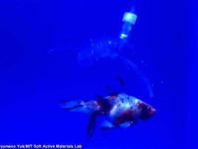 """美国麻省理工学院研制出""""水造机器人"""" 透明柔软可潜行捉鱼"""