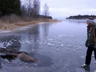 瑞典可怜麋鹿被困冰湖 3名好心人斧头破冰救鹿