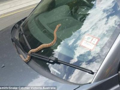 澳洲女司机发现车头挡风玻璃上出现一条蟒蛇