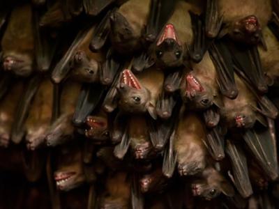 科学家翻译蝙蝠叫声 发现大部分时间都在吵架
