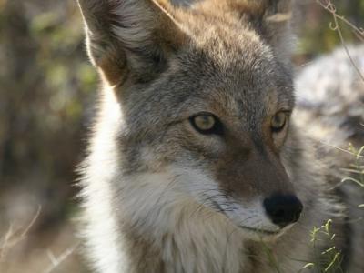 加拿大安大略省土狼攻击米克斯 吃掉一半