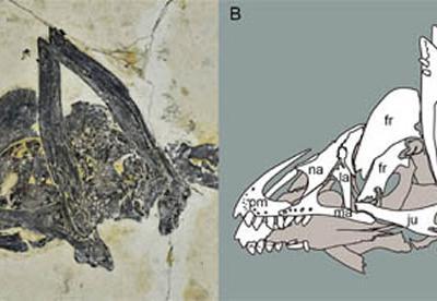 《白垩纪研究》:保存有完好头骨和齿列的会鸟幼年个体标本更新对于会鸟齿列的认识