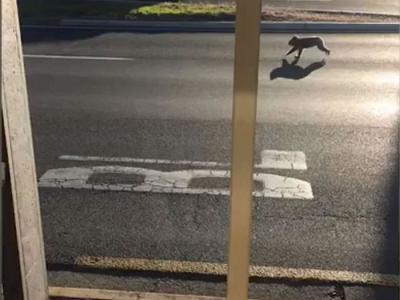速度与激情?澳洲南部一只树熊在公路中央拔足狂奔