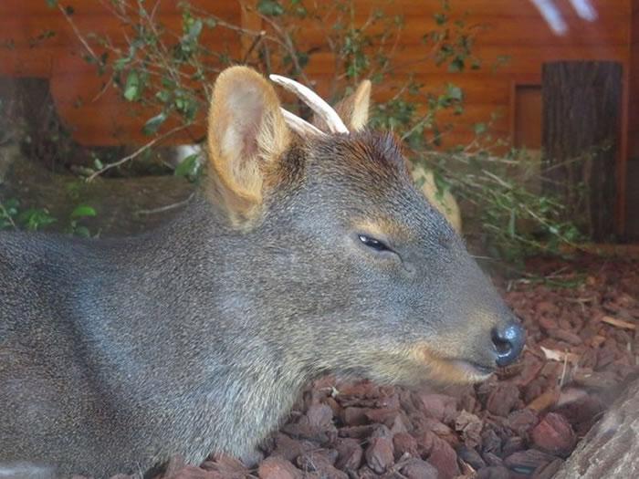 世界上体型最小的鹿:日本埼玉县儿童野生动物园诞生一只小智利巴鹿