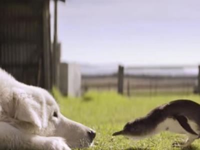 澳洲守护小蓝企鹅超过10年的牧羊犬Oddball走了