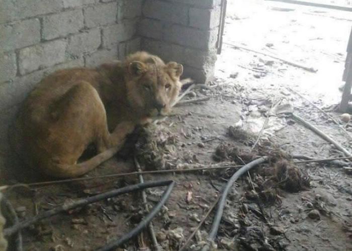 狮子饿得瘦骨嶙峋、以绝望眼光凝视镜头。