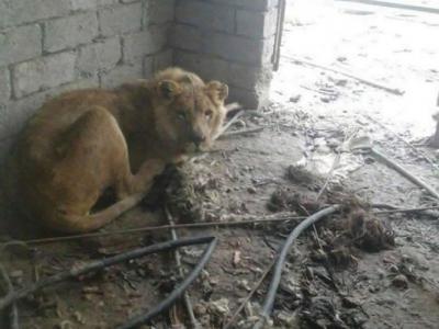 IS最新受害者 伊拉克摩苏尔动物园悲惨狮子饿死