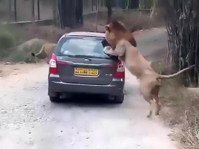 印度卡纳塔克邦野生动物园狮子直扑旅游车