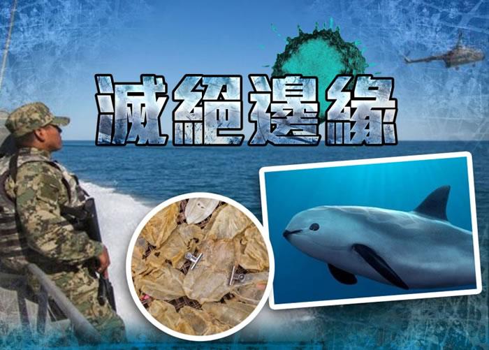 纵使墨西哥海军已加入打击非法捕捞活动,但加湾鼠海豚仍面临灭绝。