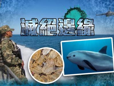 """墨西哥加尼福尼亚湾""""加湾鼠海豚""""濒临灭绝 科学家宣布将捕捉并开展人工养殖"""