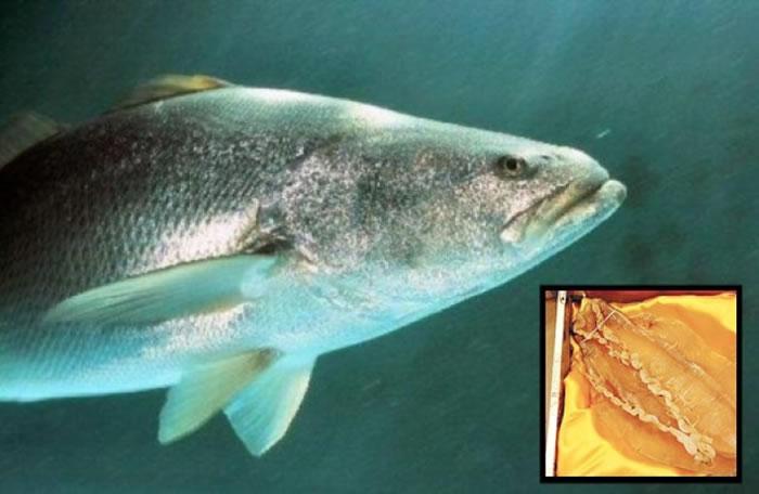 加尼福尼亚湾石首鱼的鱼膘,在亚洲市场的需求极高。