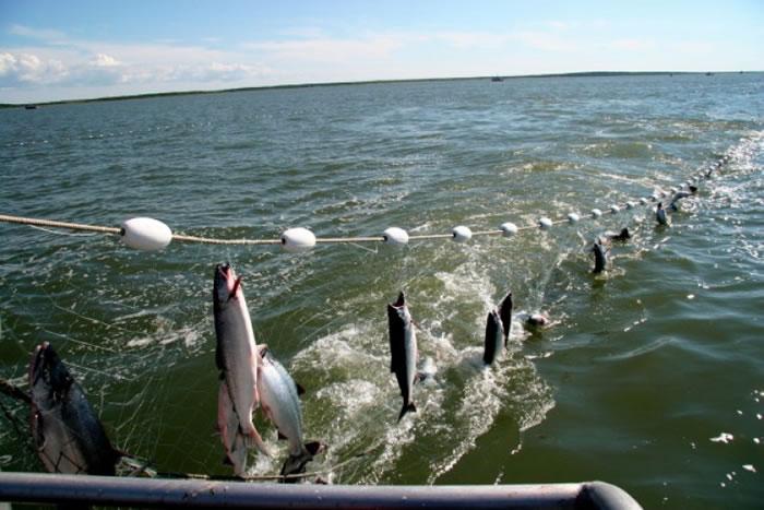 渔民非法将流刺网设于海中,把经过的海洋生物一网打尽。