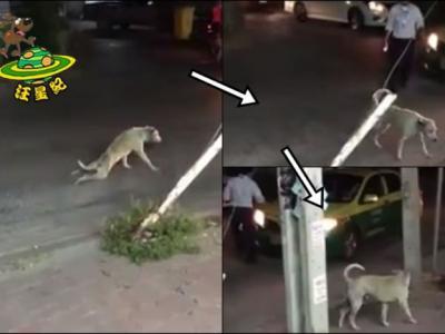 泰国一只后腿瘫痪的狗吃力过马路 有人靠近帮忙时却健步如飞跑掉