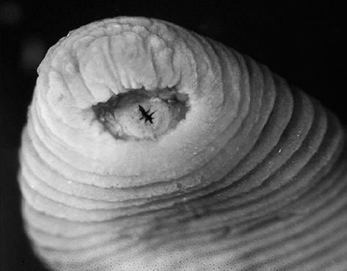 暴君水蛭有能锯开肉的巨大牙齿(此图未显示)。 PHOTOGRAPH COURTESY PLOS ONE