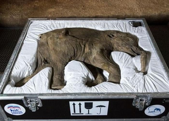 长毛象有望复活?图为数年前被发现的长毛象宝宝Lyuba遗骸。