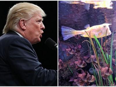 """英国曼彻斯特海洋生物中心有一条""""特朗普""""鱼箱鲀(牛角鱼)"""