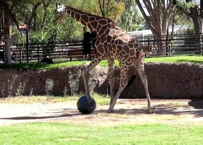长颈鹿化身足球员踢球。