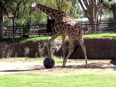美国亚利桑那州图森动物园长颈鹿化身足球员一展身手