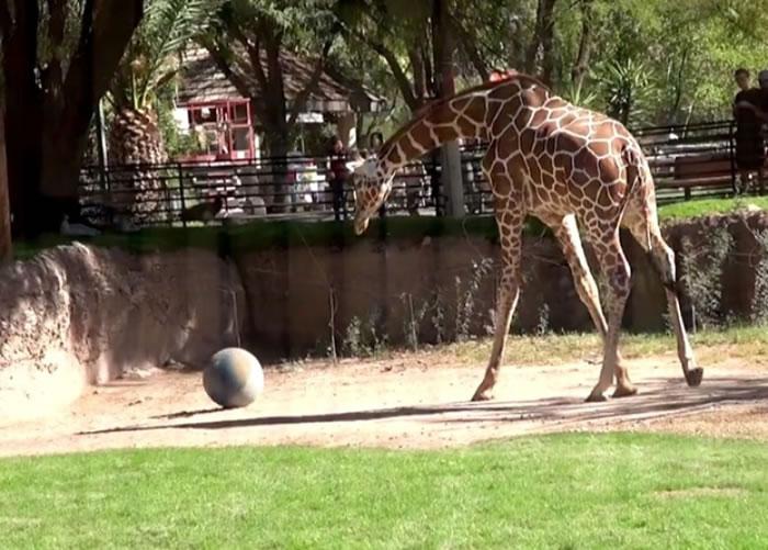 长颈鹿似乎对球体很有兴趣。