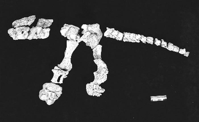 丽水浙江龙的椎体及后肢化石