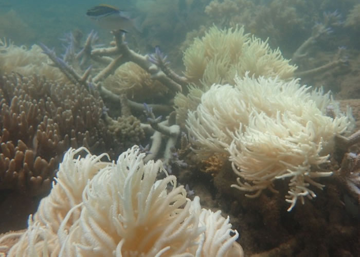 专家指大堡礁近日受破纪录热浪侵袭,珊瑚白化加剧。