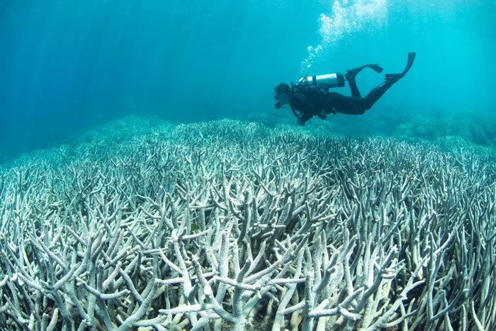 珊瑚出现白化,意味它们将会死亡。