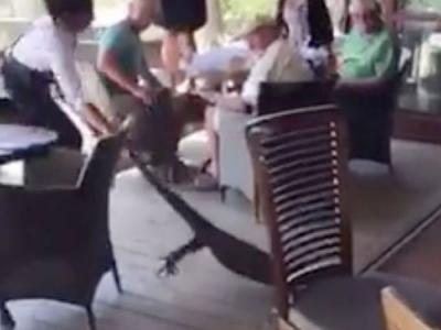 澳洲新南威尔士省巨蜥闯餐厅 女侍应徒手拽尾巴拖走