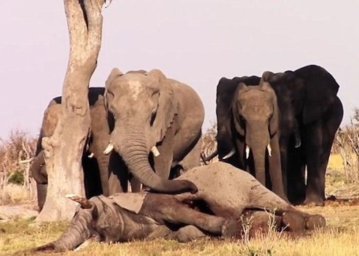 一群大象对死去的同伴难舍难离。