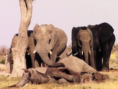 非洲博茨瓦纳一群大象守护死去同伴