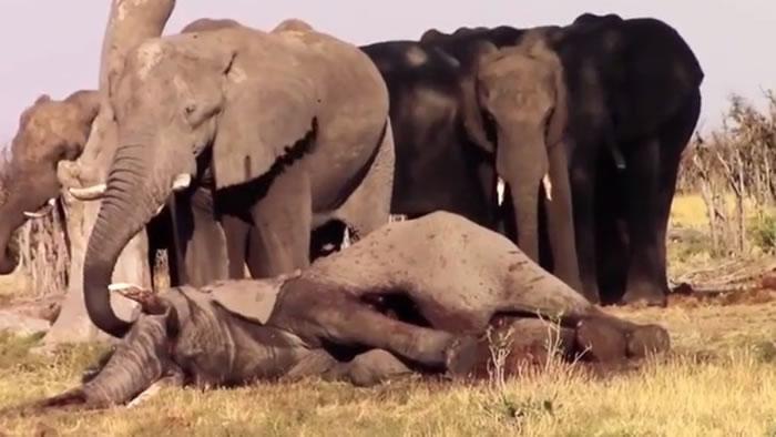 有大象用长鼻安抚死去的同伴。