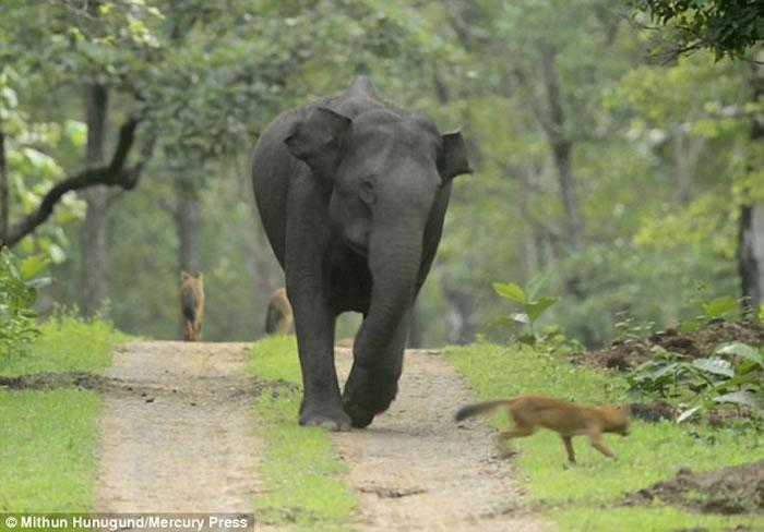 印度大象妈妈护子心切怒撞埋伏野狗