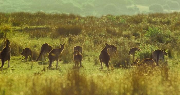 袋鼠是澳洲国宝。
