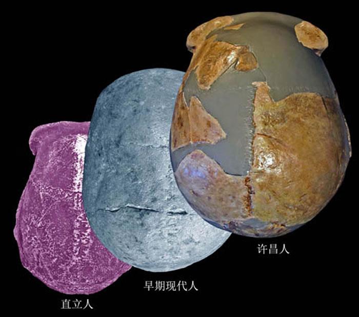 许昌人头骨顶面观及其与直立人、早期现代人对比(吴秀杰供图)