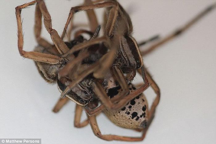 美国生物学家在家中后园发现有3只狼蛛玩3P 怀疑是雄性狼蛛为保命想出的阴谋