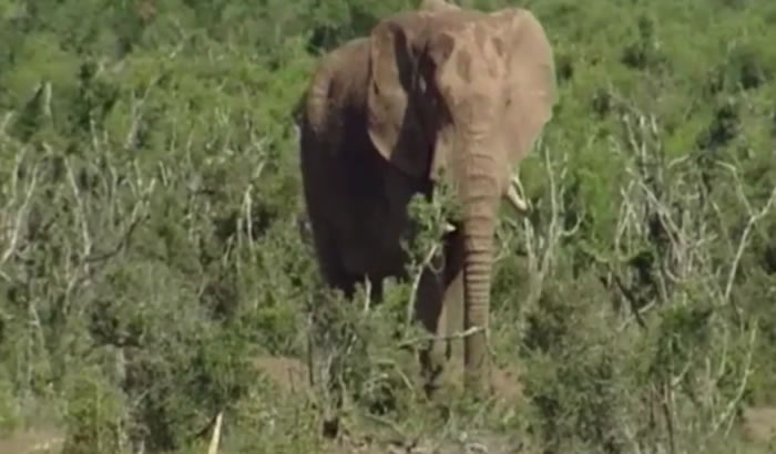 研究指野生非洲象只睡两小时 责任感重白天常保持清醒