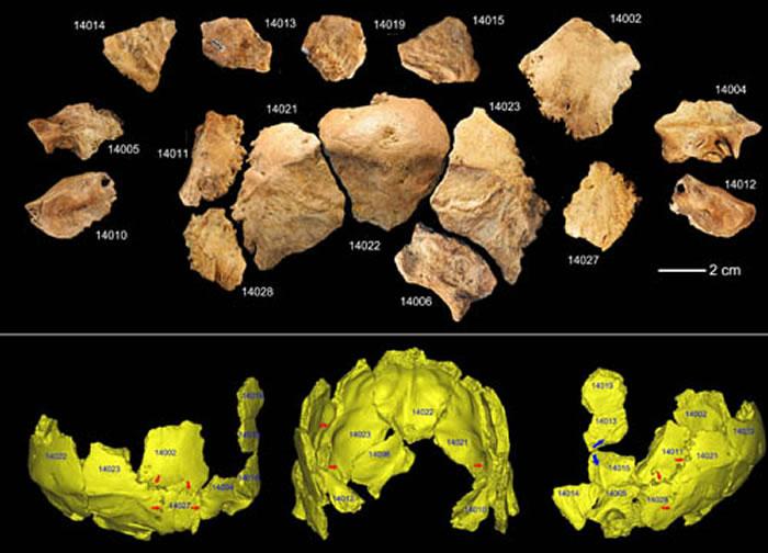 许昌2号头骨化石碎片及头骨化石的3D虚拟复原(吴秀杰供图)