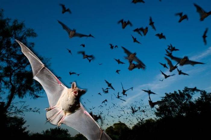 美国德州梅森郡,倾巢而出的墨西哥游离尾蝠。 PHOTOGRAPH BY JOEL SARTORE, NATIONAL GEOGRAPHIC CREATIVE