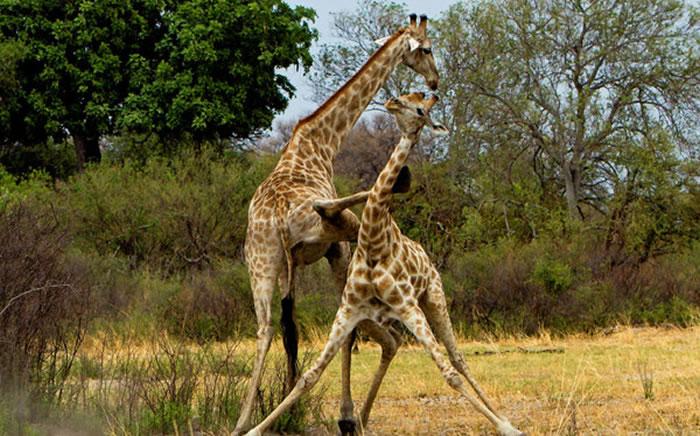 """非洲博兹瓦纳长颈鹿为争权势""""大打出脚"""""""