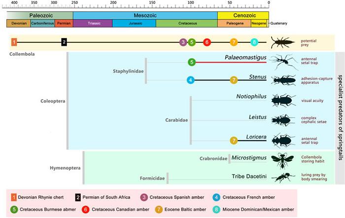 跳虫和专性跳虫捕食者的系统演化图