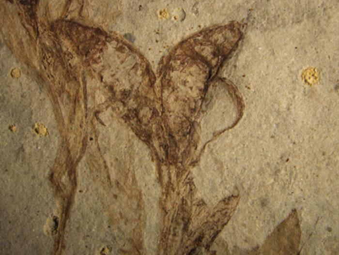 中国早白垩世一个类似人字果的被子植物化石