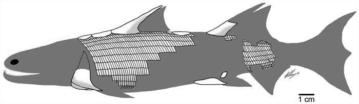 4.2亿年前身披奇特鳞片的古鱼类——丁氏甲鳞鱼